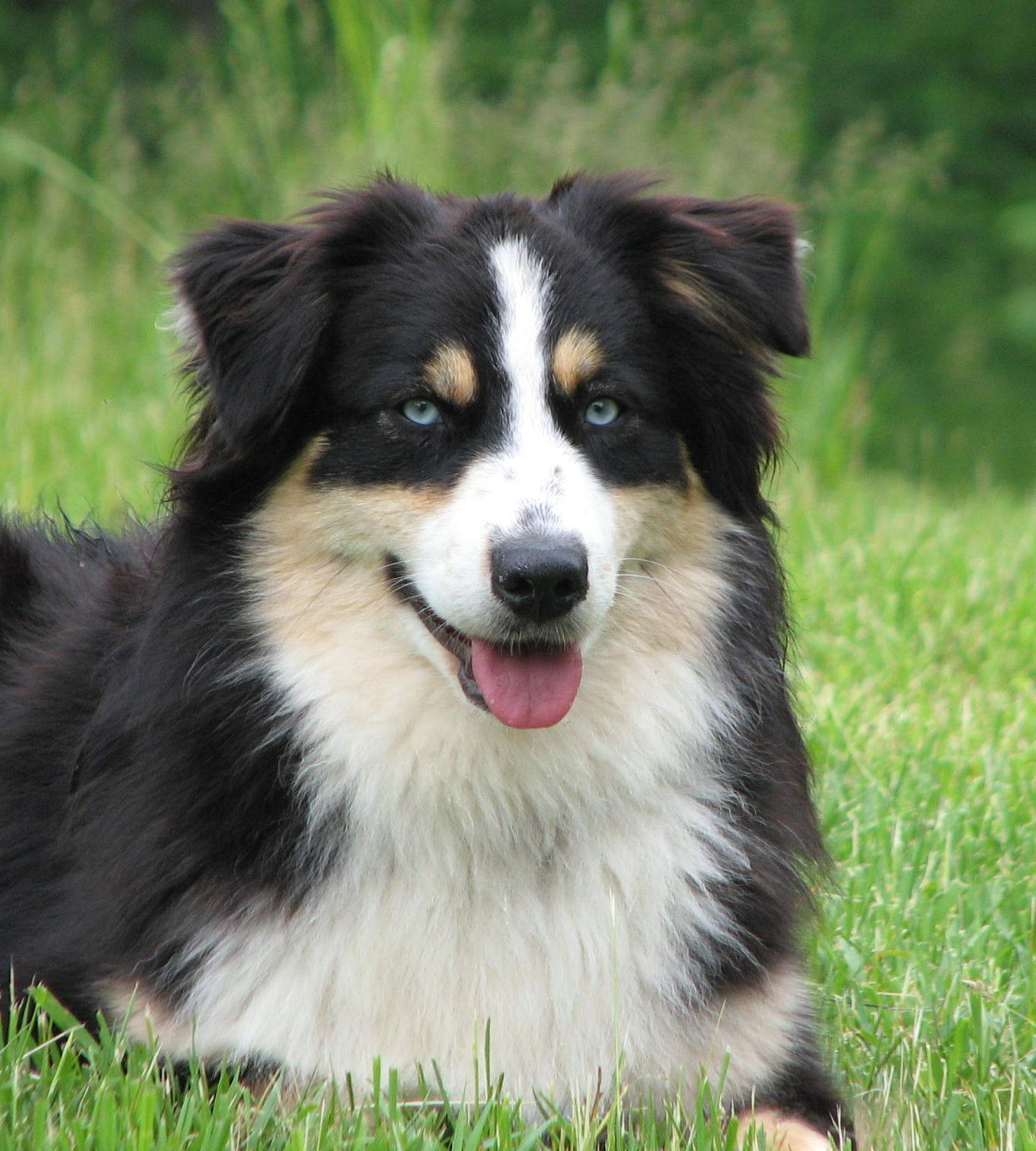 Australian Shepherd Black Tri Bet Blue Eyed Tri Blue Eyed Dog
