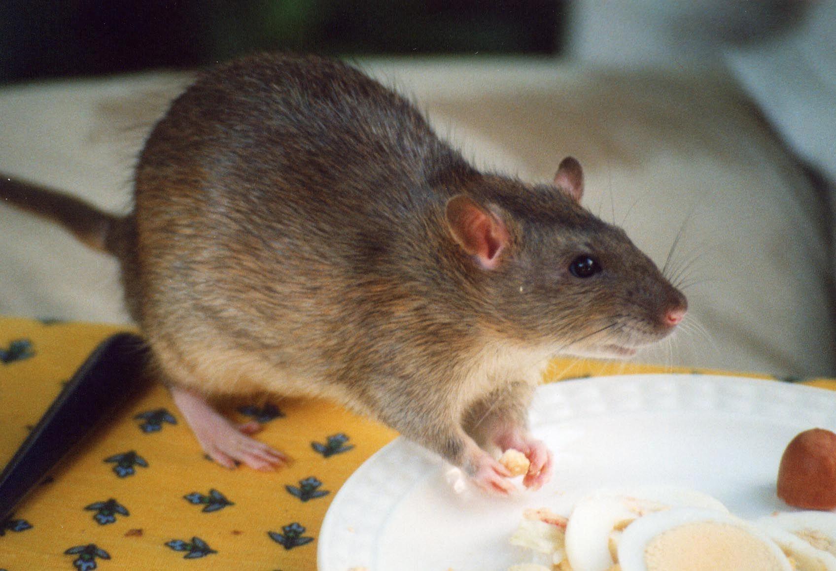 Pest Control Measures For Effective Flea Prevention In 2020 Pet Rats Animal Facts Safe Pest Control