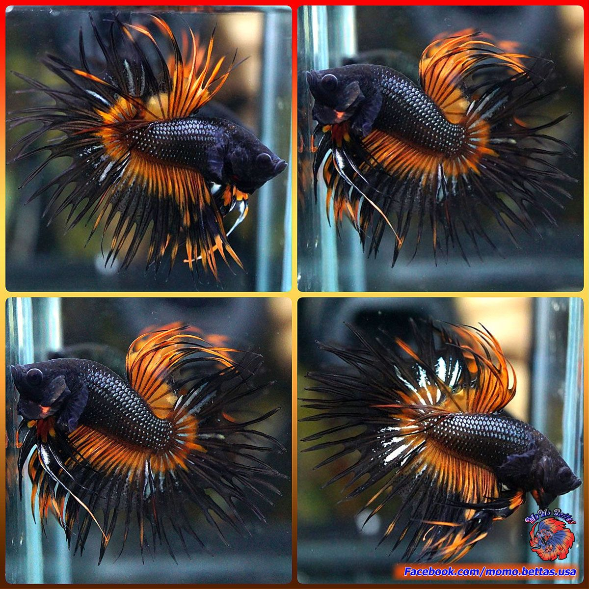 Live Betta Fish Male Fancy Orange Black Orchid King Crowntail Ct