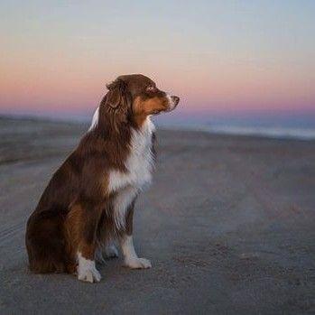 Pin von Barbara rathmanner auf Australien Shepherd Dogs