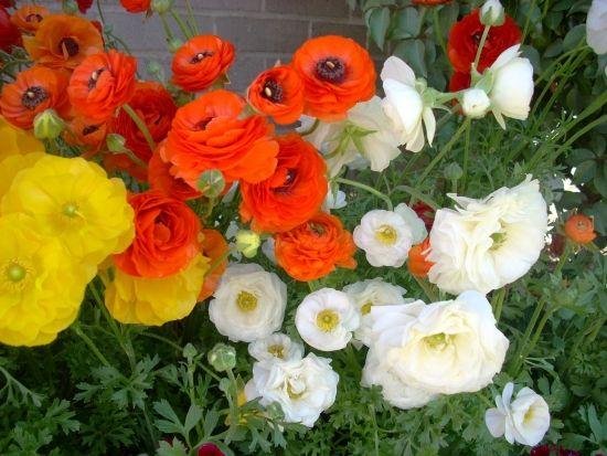 Piciorul Cocosului Ranunculus Cultivare Ingrijire Si Inmultire Ranunculus Flowers Large Flower Pots Flowers