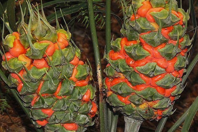 Macrozamia lucida [Family:Zamiaceae]; Common name: Pineapple zamia IUCN 2013. IUCN Red List of Threatened Species. Version 2013.2.