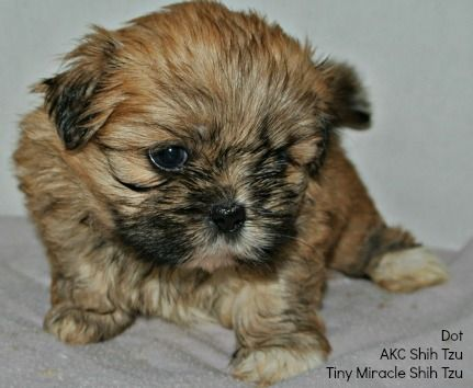Names For A Brown Dog Select From Hundreds Of Choices Shih Tzu