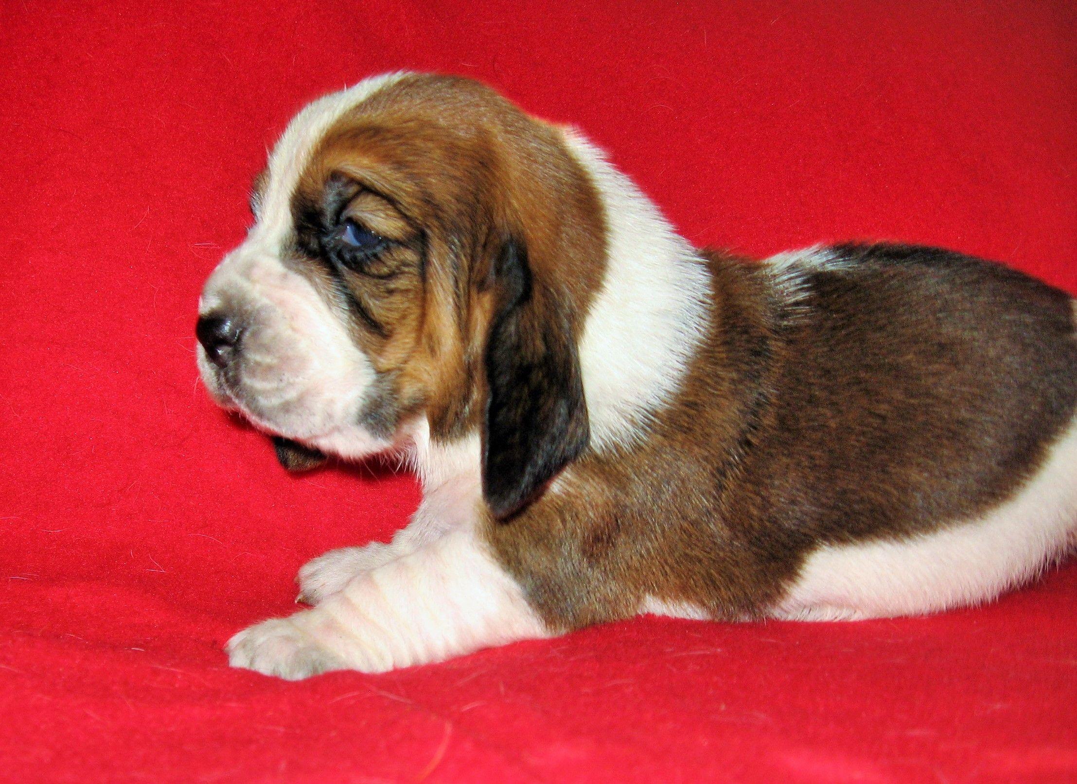 little basset at two weeks old | Basset hound, Basset ...