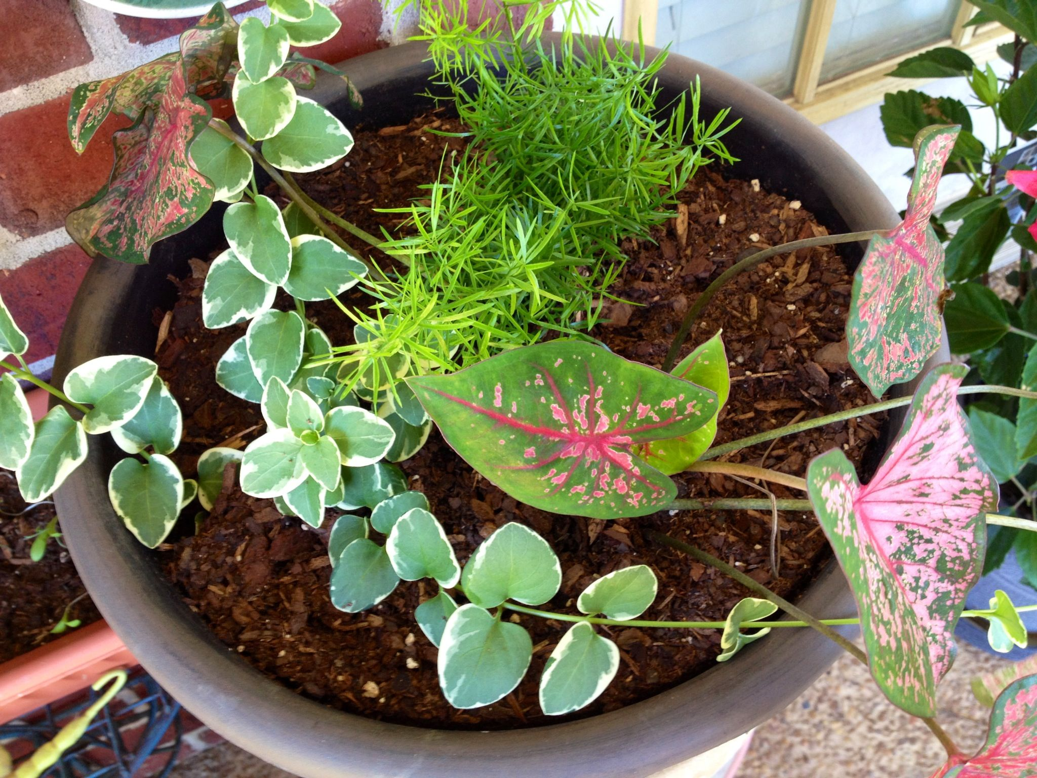 My Asparagus Fern Caladiums And Veriegated Vinca Vine Asparagus Fern Vinca Vine Flowers