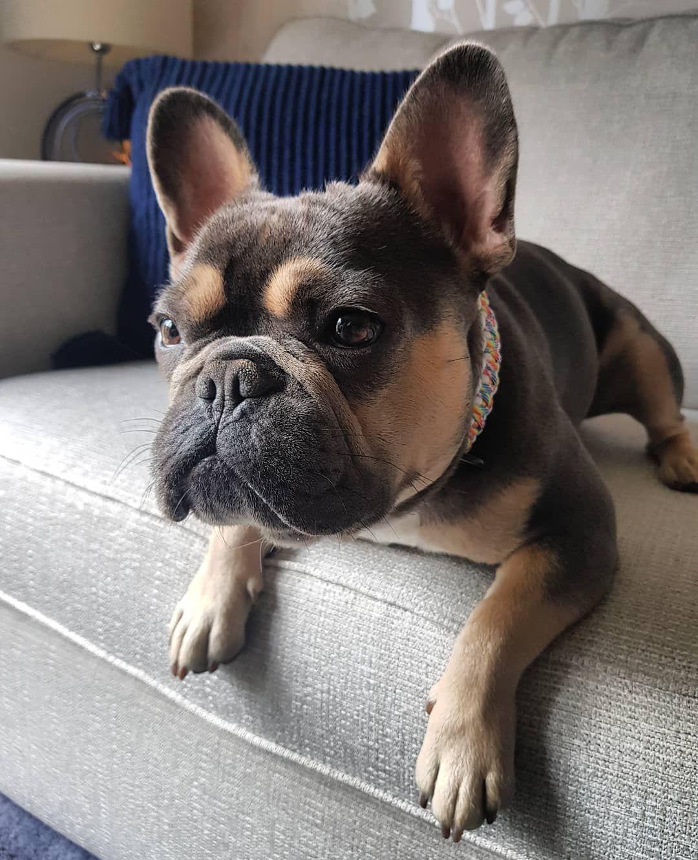 Изображение «french bulldog life» от пользователя ♥French