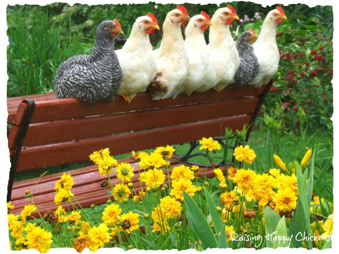 Caring for Chickens in the Spring. | Chickens backyard ...