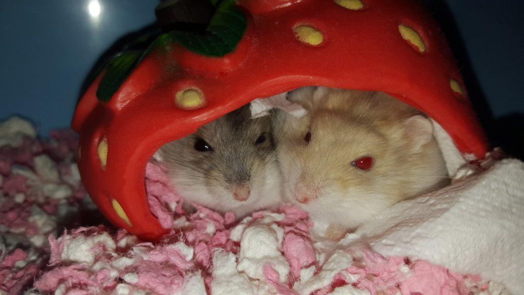 Cute Hamster Names For Dwarfs Females Males With Images Hamster Names Hamster Cute Hamsters