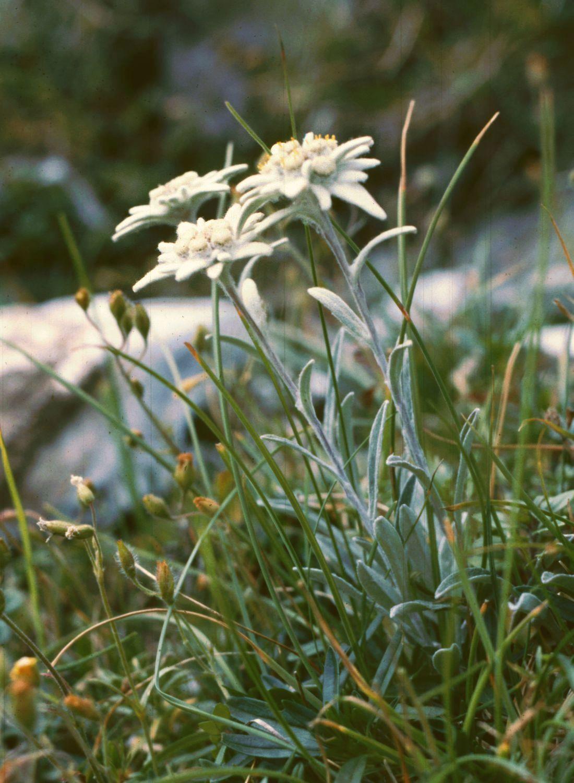 Edelweiss (Leontopodium alpinum).  Fotografia:  Franz Xaver.