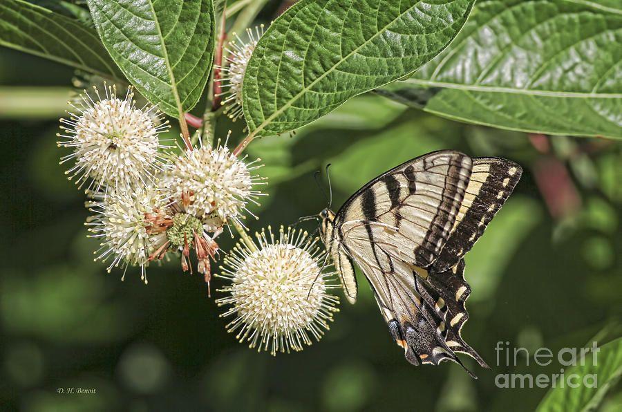 Photograph - Swallowtail With Flowers by Deborah Benoit #affiliate , #AFFILIATE, #AFF, #Swallowtail, #Benoit, #Deborah, #Photograph