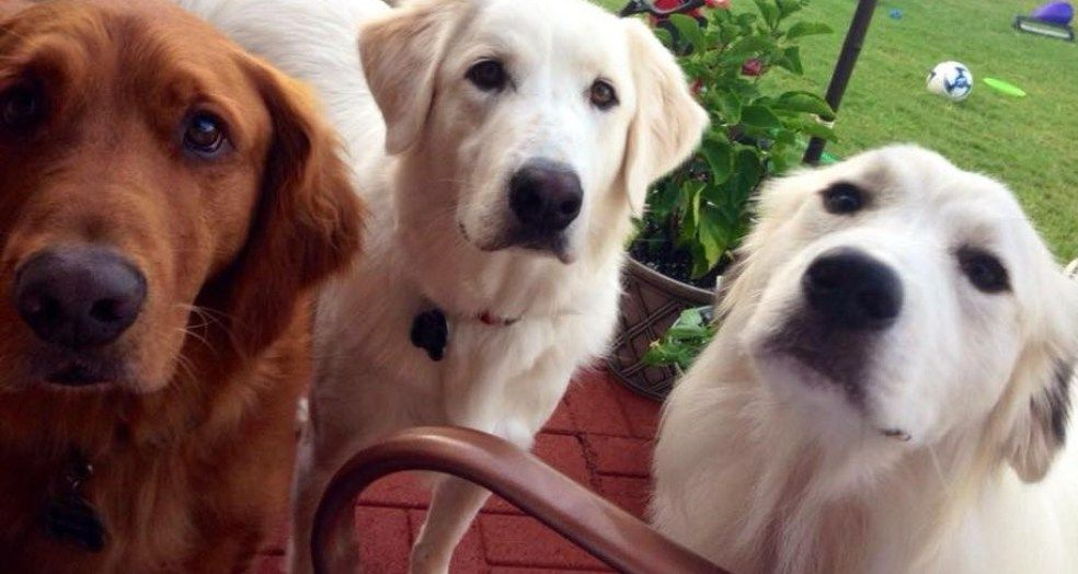 Dilated Cardiomyopathy in Golden Retrievers What You Need