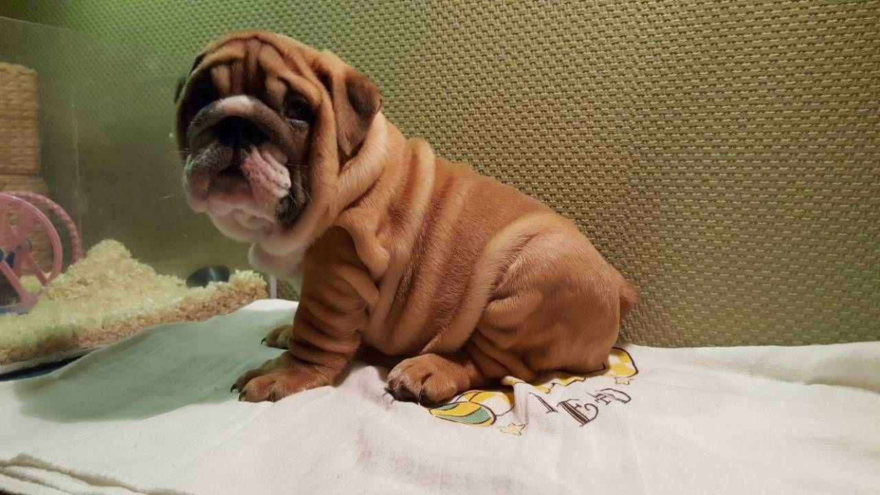 Darius The Wrinkly And Amazing English Bulldog Puppy English