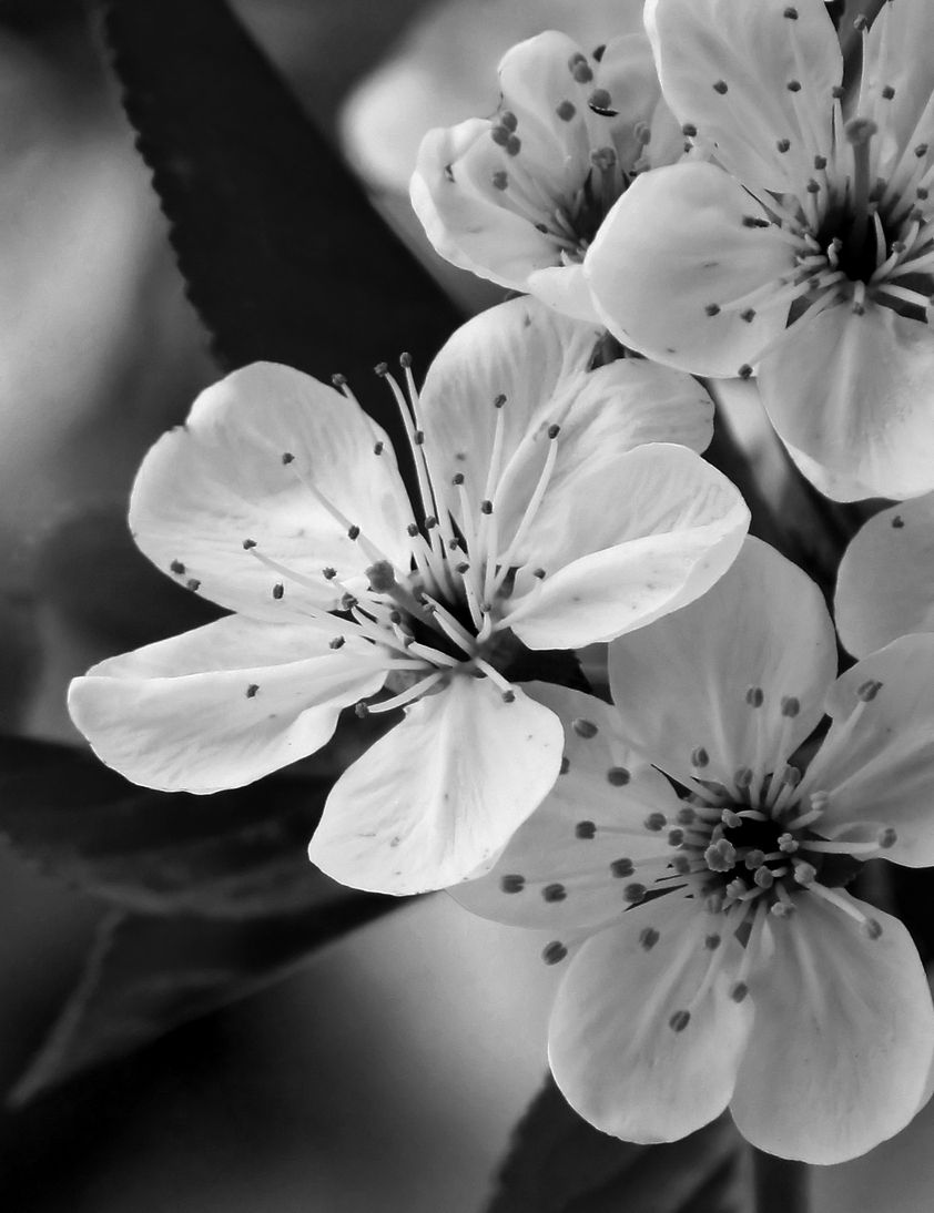 Black and white flower photography certainly relies on moody and delicate light but be careful not to mistake this for a flower photography image being
