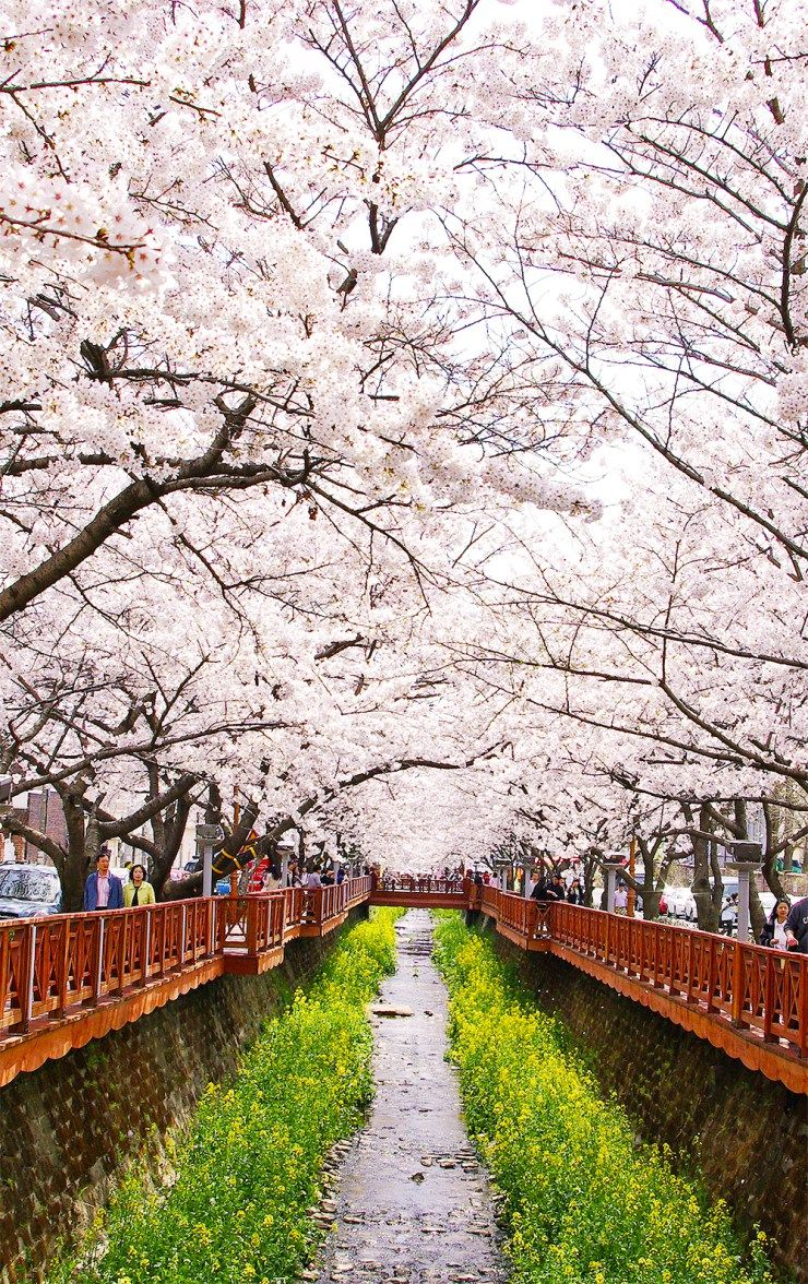 Korea Cherry Blossom 2021 Forecast The Best Time 9 Best Places To See Cherry Blossoms In Korea Living Nomads Travel Tips Guides News Information Cherry Blossom Festival Spring Scenery Cherry Blossom