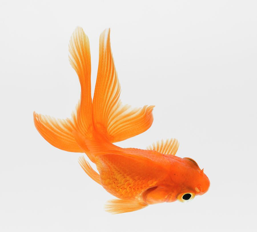 Fantail goldfish carassius auratus elevated view canvas for Carpa pesce rosso