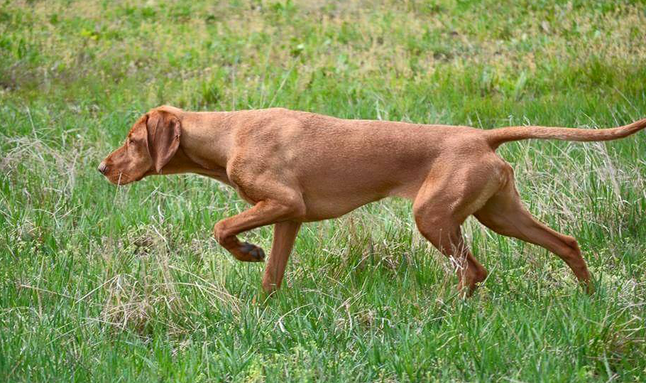 Wirehaired Vizsla Dog Breed Information Wirehaired Vizsla Vizsla Dogs Vizsla