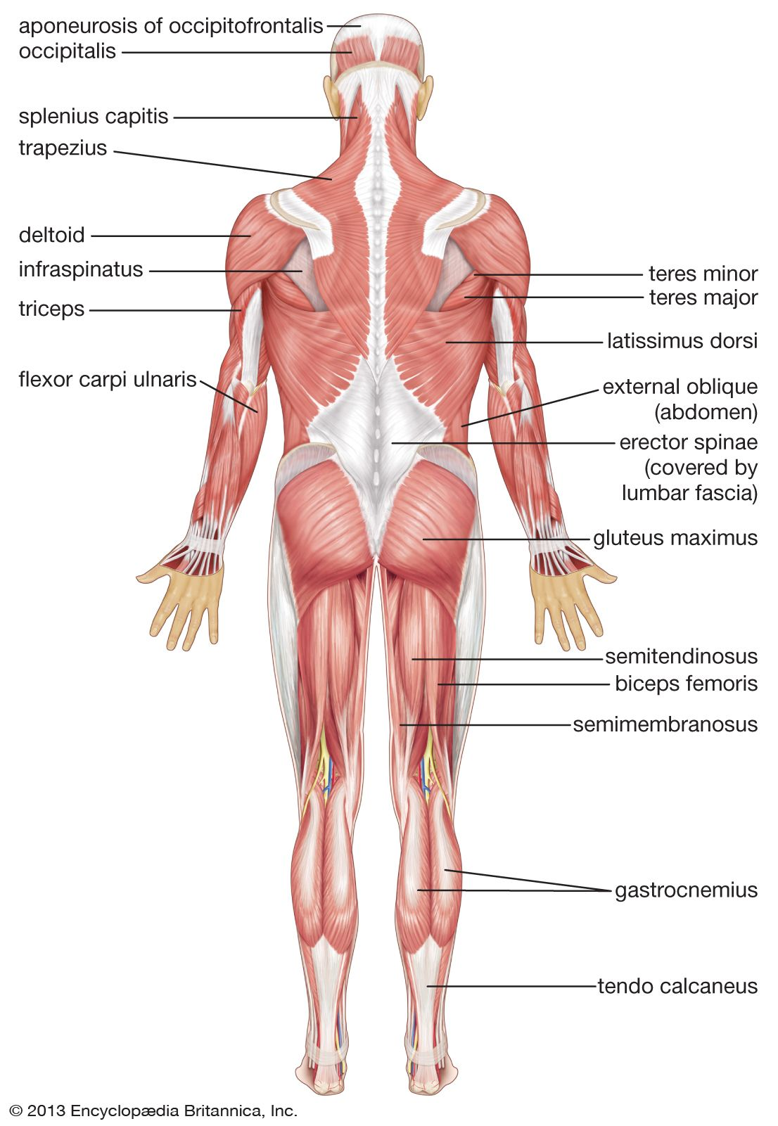 Human Muscular System Posterior View