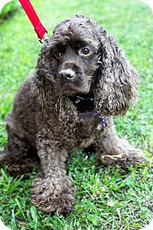 Detroit Mi Cocker Spaniel Meet Koko A Dog For Adoption Dog Adoption Cocker Spaniel Dogs