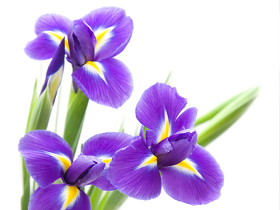 Iris Means Faith Iris Flowers Purple Iris Flowers Flower Meanings