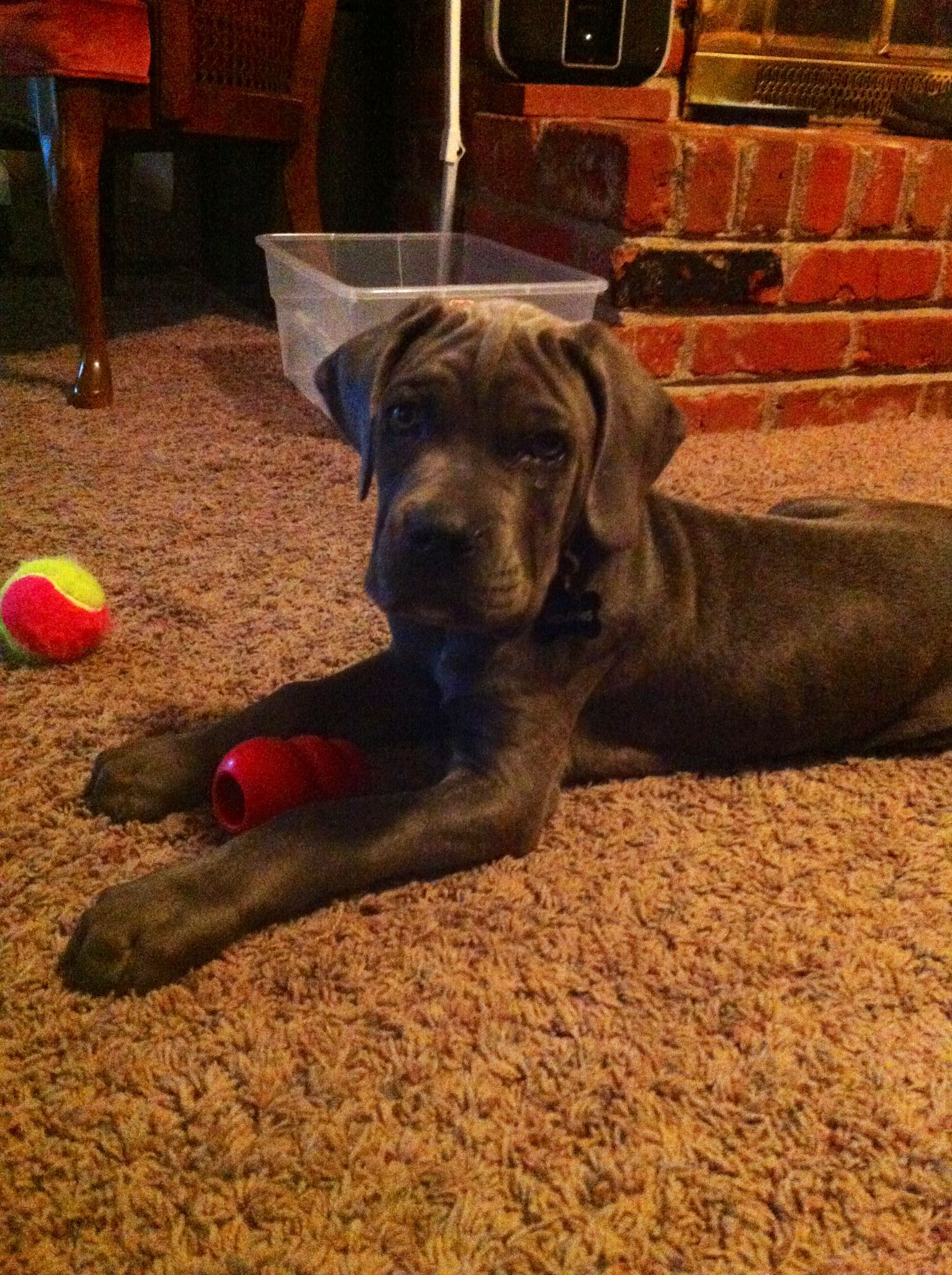 This is Memphis, our 10 week old Blue Cane Corso puppy that I got my wife for her birthday.