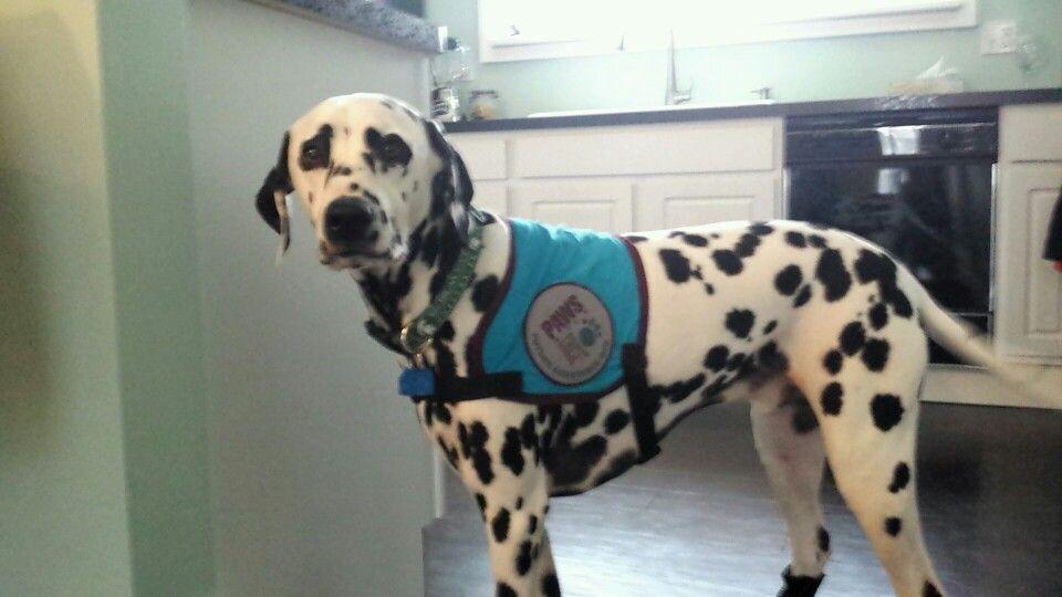Dalmatian service dog