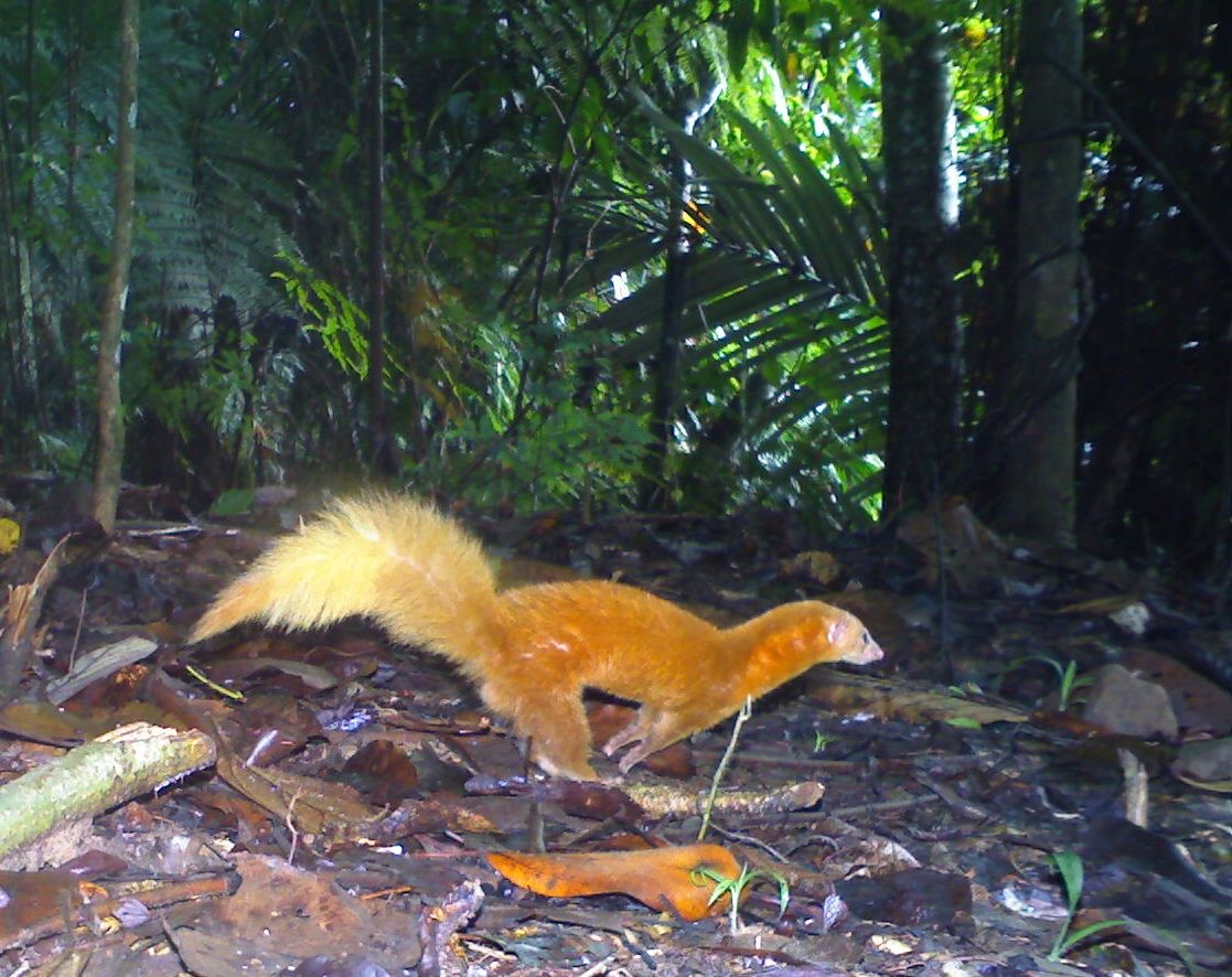 A Malay weasel (Mustela nudipes) in borneo. only a few