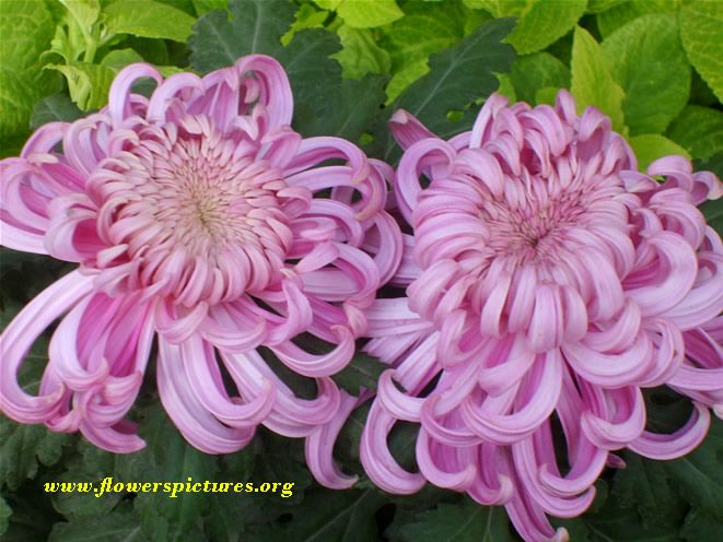 Purple Mums Flower Pictures Flowers Mums Flowers Flower Pictures