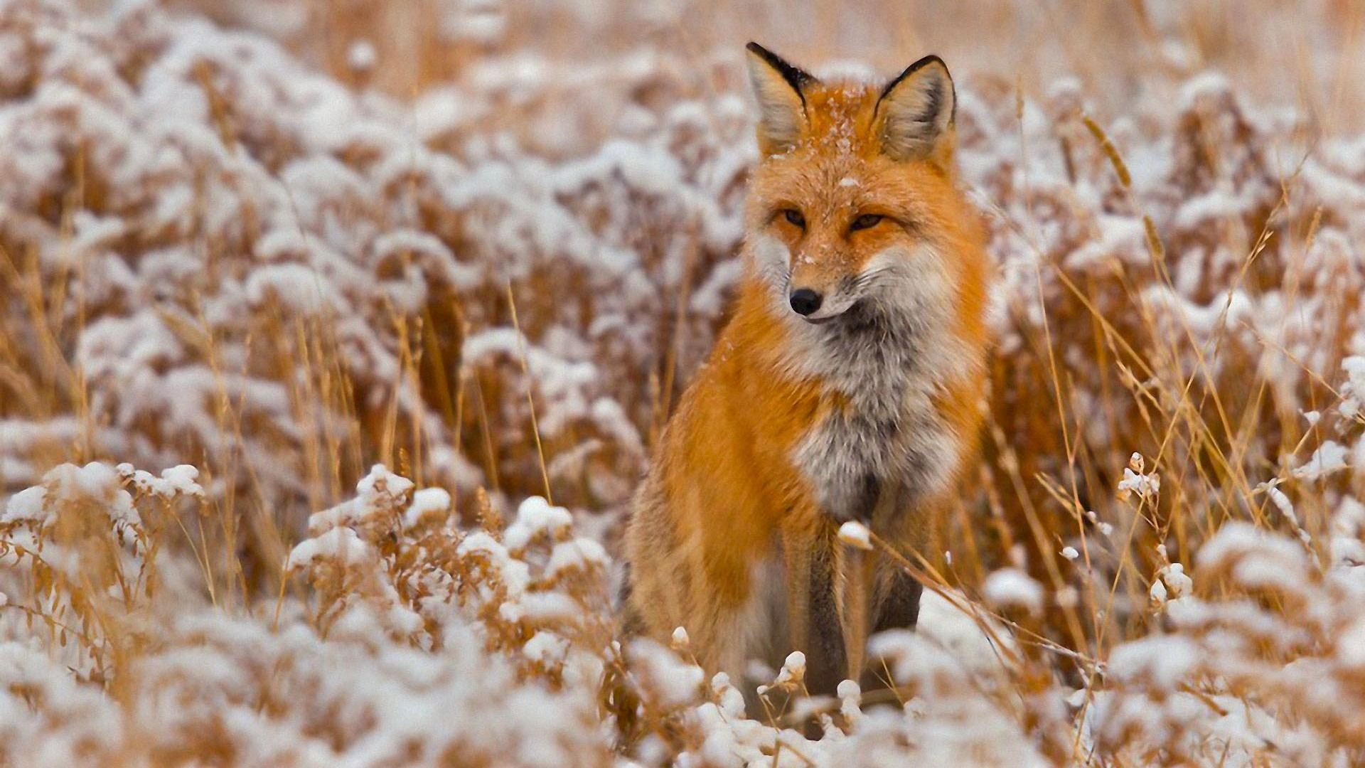 Red fox in winter 1920 x 1080 Wallpaper art Pinterest