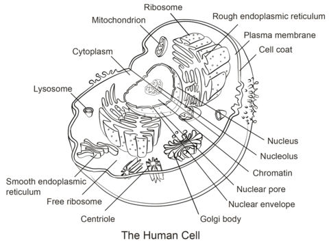 Human Cell coloring page from Anatomy category. Select