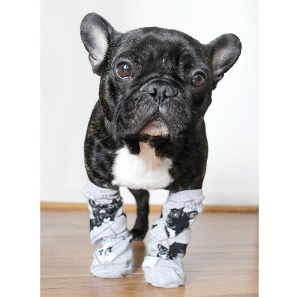 frenchie with frenchie socks