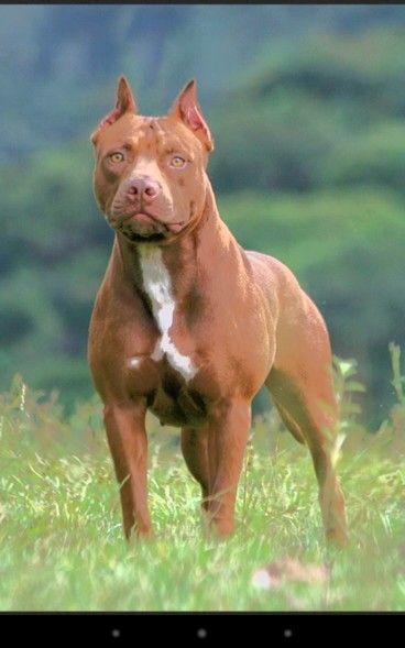 Its So Cute Animals Pitbulls Dogs