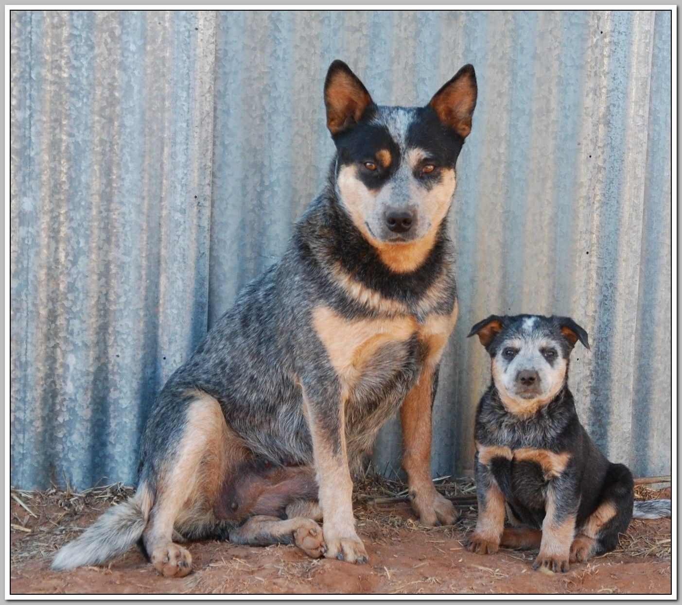 Basic Dog Training Spoil Rotten Dogs Austrailian Cattle Dog