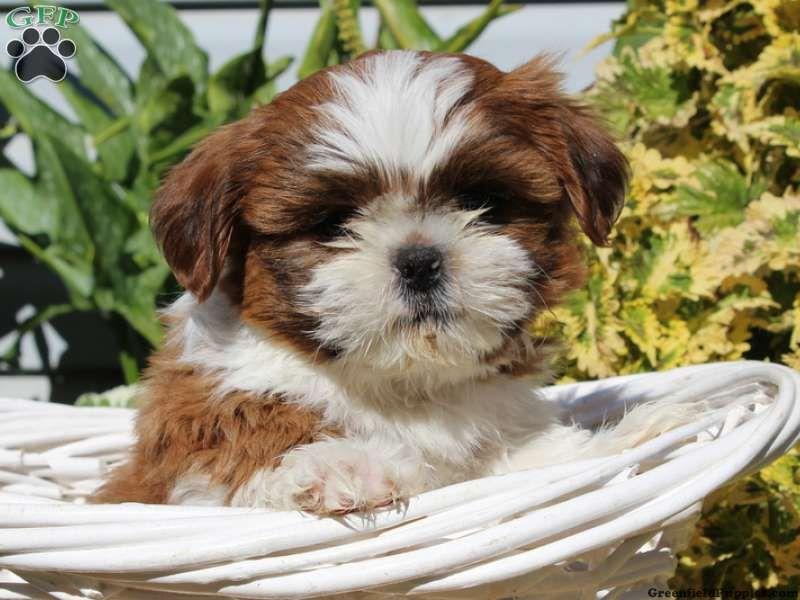 Shih Tzu Puppies For Sale In Pa Shih Tzu Puppy Shih Tzu Puppies