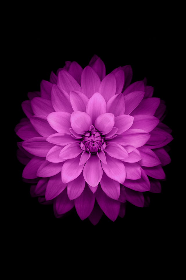Purple flower with black background Nature iPhone