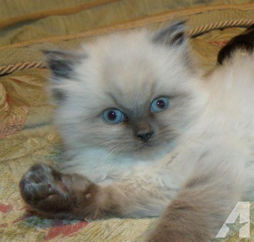 Ragdoll Kitten Male Blue Point Topaz Blue Eyes Fluffy Purebred Ragdoll Kitten Ragdoll Cat Ragdoll