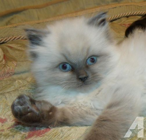 Ragdoll Kitten Male Blue Point Topaz Blue Eyes Fluffy