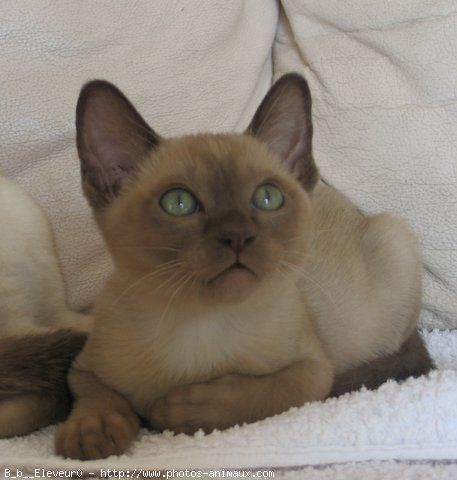Photo chat de race tonkinois poil court b b eleveurs animales tonkinese cat - Chaton tonkinois ...