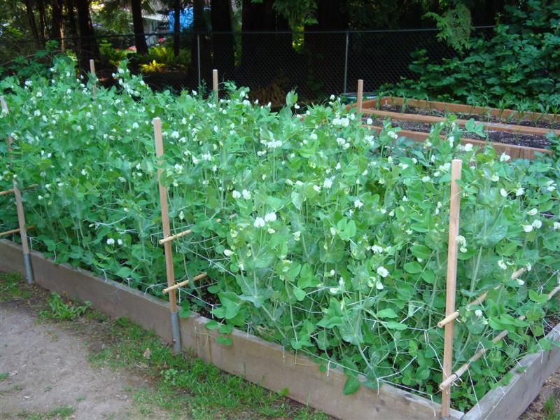 Trellis Ideas For Peas Part - 17: Harvest Monday And Second Generation Horizontal Pea Trellis - The Modern  Victory Garden