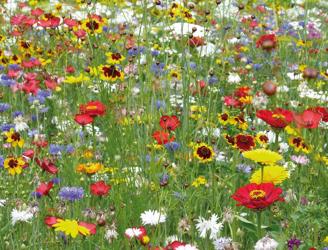 Planter Des Coquelicots Dans Son Jardin les fleurs sauvages, belles et faciles à vivre   fleurs
