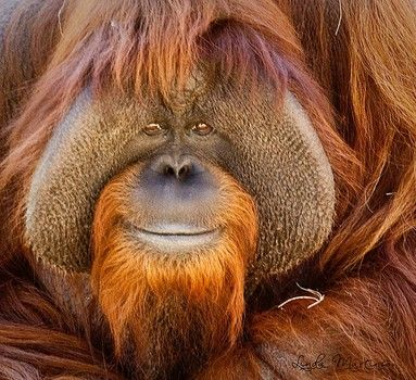 Image result for smiling orangutan