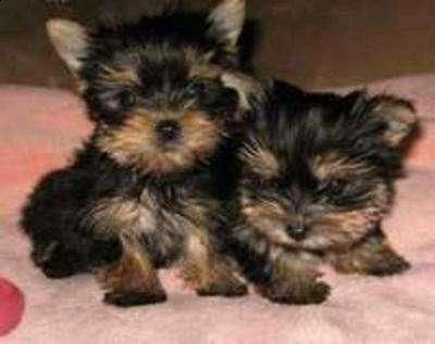 Pictures Of Yorkie Puppies Google Search Teacup Yorkie Puppy