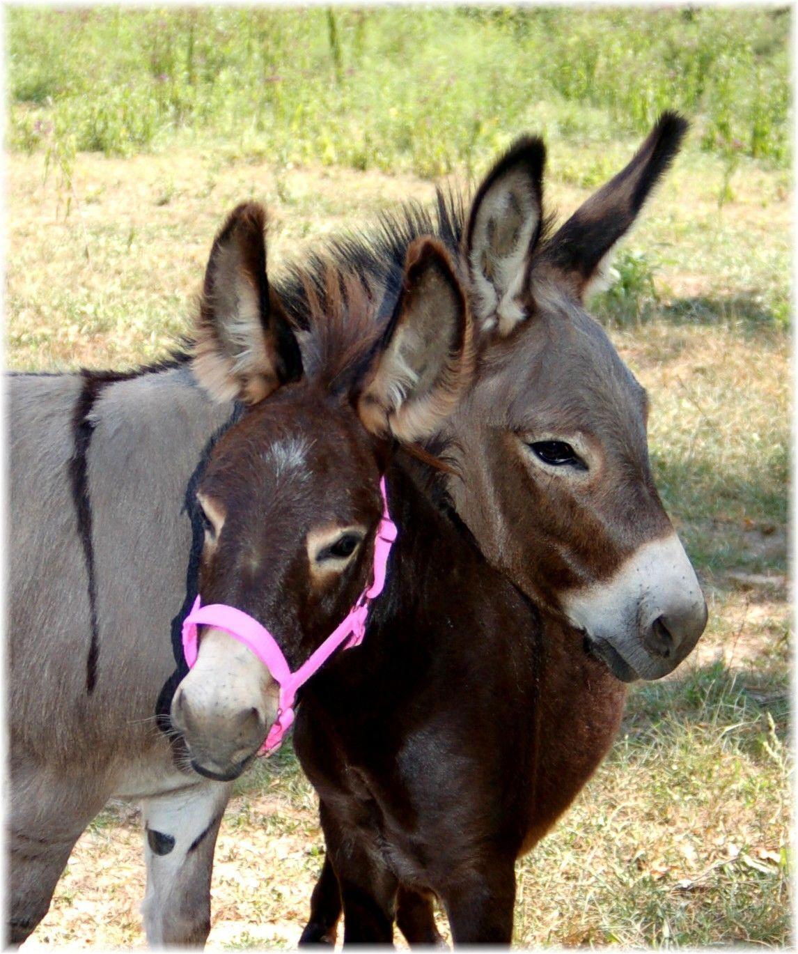 minature donkeys