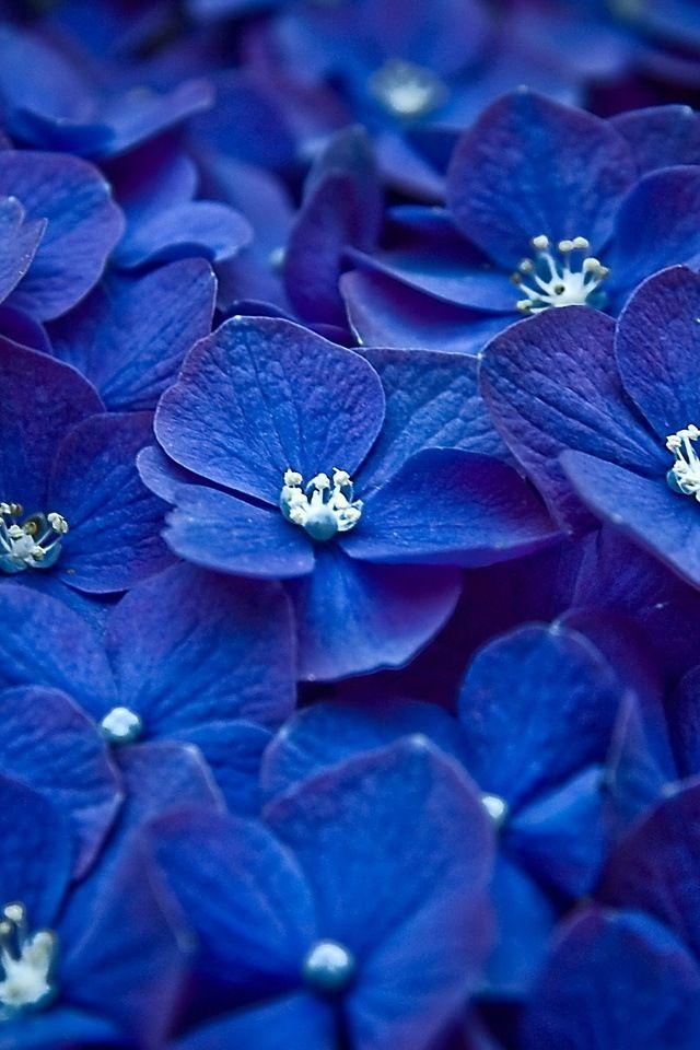 Hdwallpapers4iphone Com Blue Flower Wallpaper Blue Flowers Blue Hydrangea