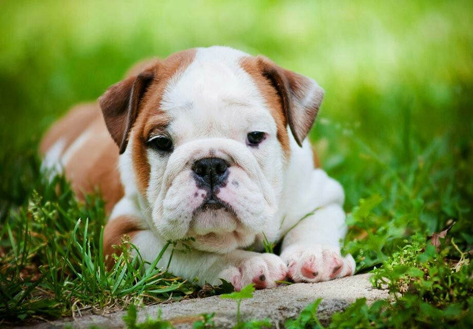 Pin By Shirley Bosworth On Animals Bulldog Puppies Bulldog Puppies