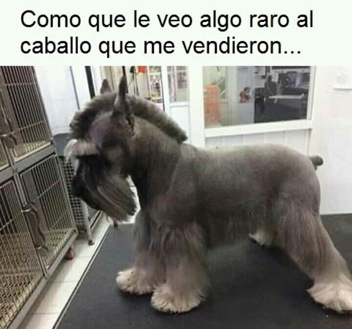 Pin By Tia Uber On Memes Schnauzer Grooming Dog Grooming Salons Dog Grooming Styles