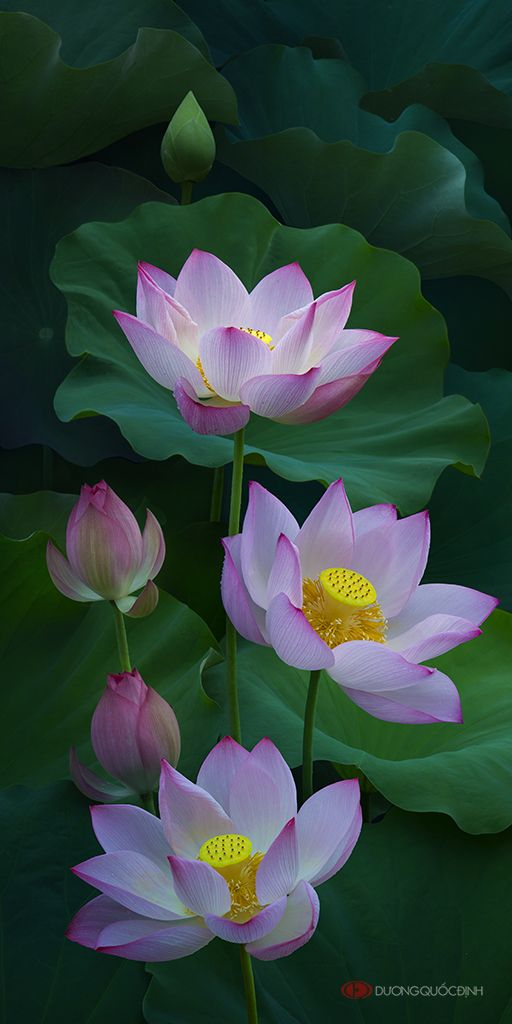 35photo Duong Quoc Dinh Lotus Flowers Pinterest