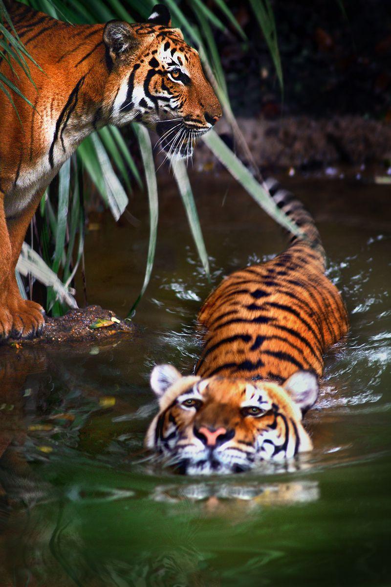 Tigers safari pinterest tigers animal and wildlife