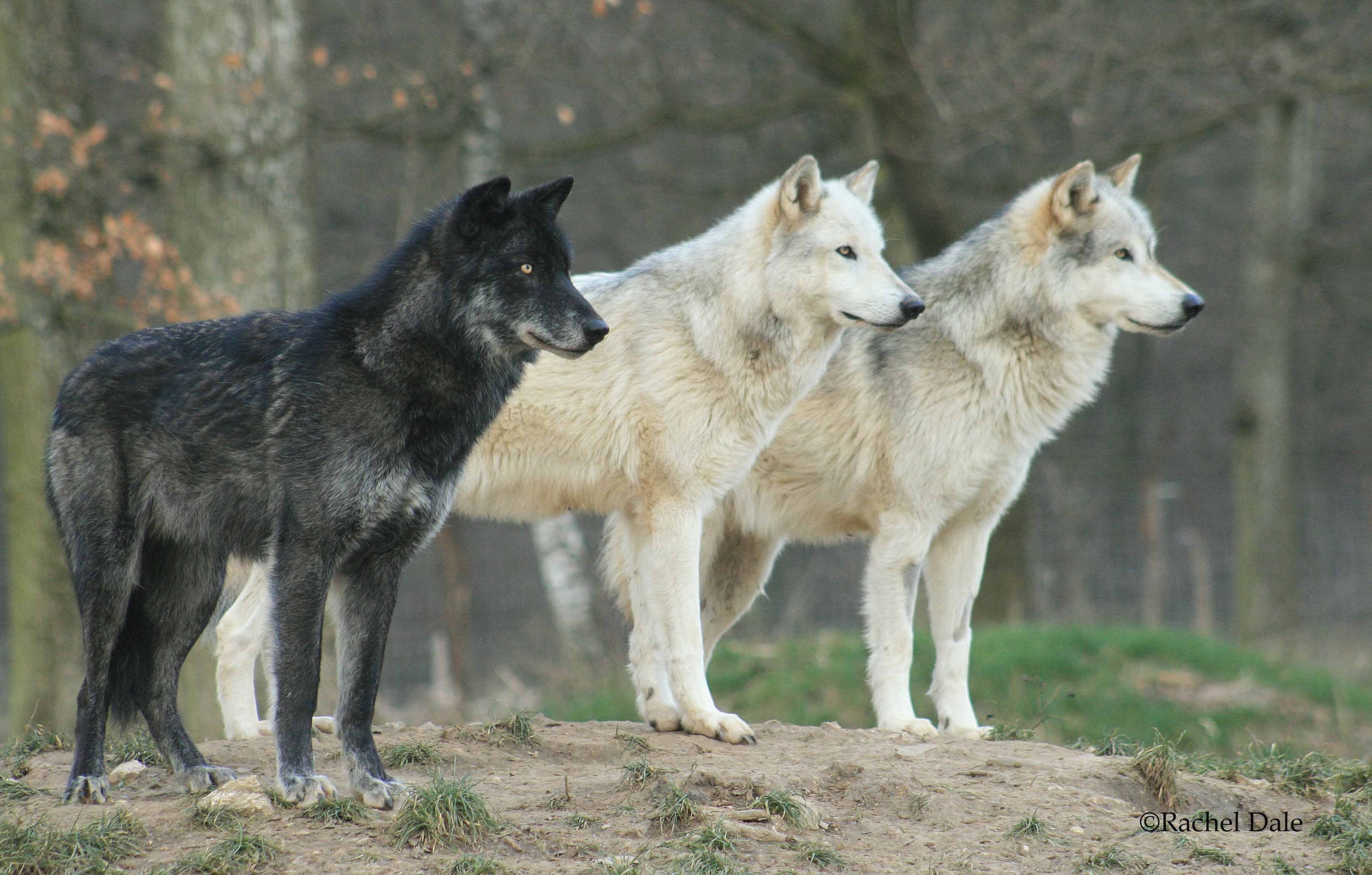 будем окрасы волков фото также курсе