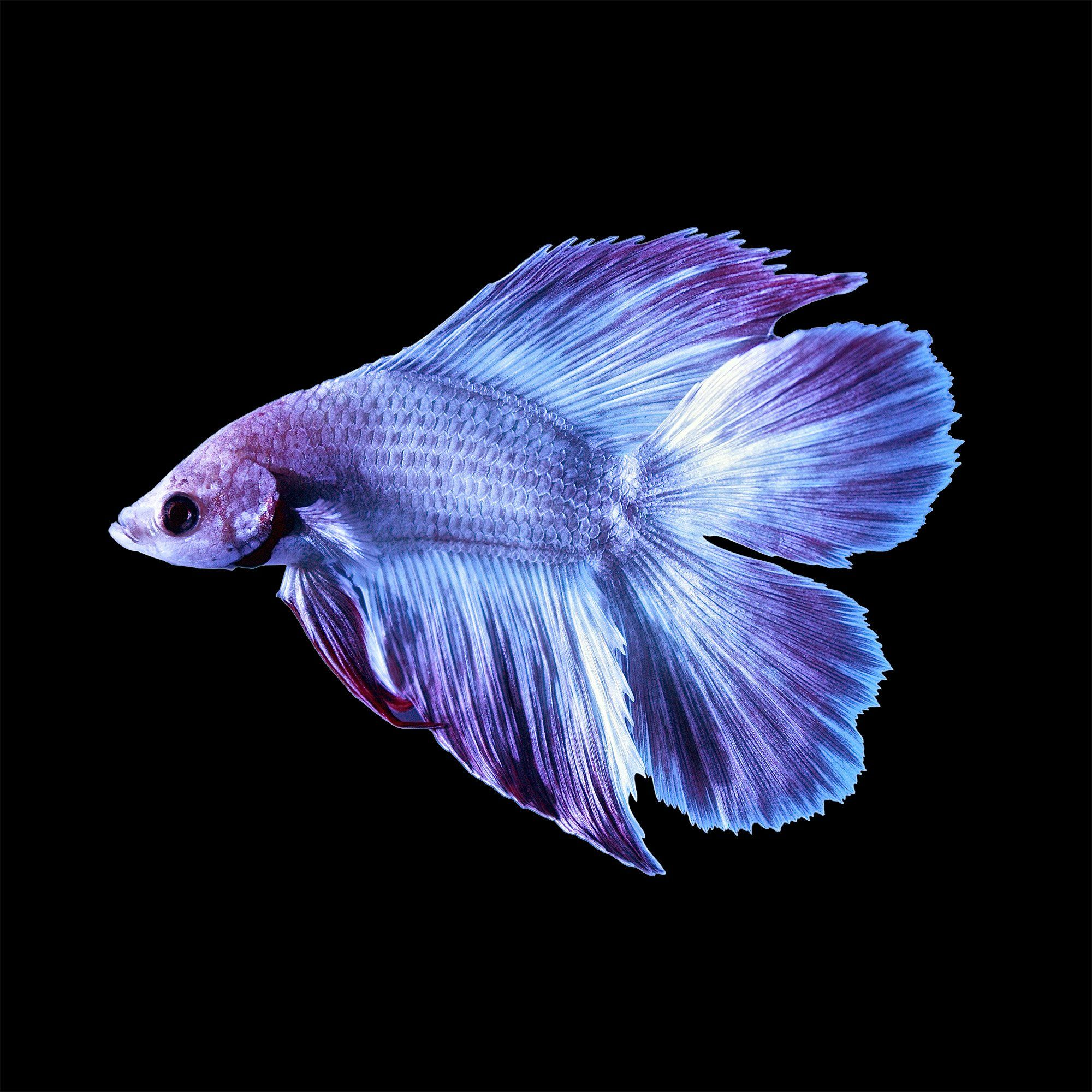 Male Doubletail Bettas For Sale Order Online Petco In 2021 Pet Fish Betta Fish Betta Fish Tank