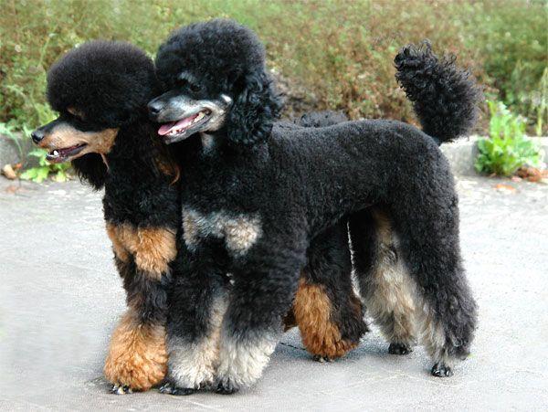 Pudel Zwerg Blackandtan Poodle